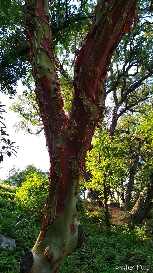 "Ливадийский парк, дерево ""бесстыдница"""