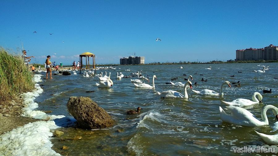 Озеро с лебедями в Евпатории (Сасык-Сиваш)
