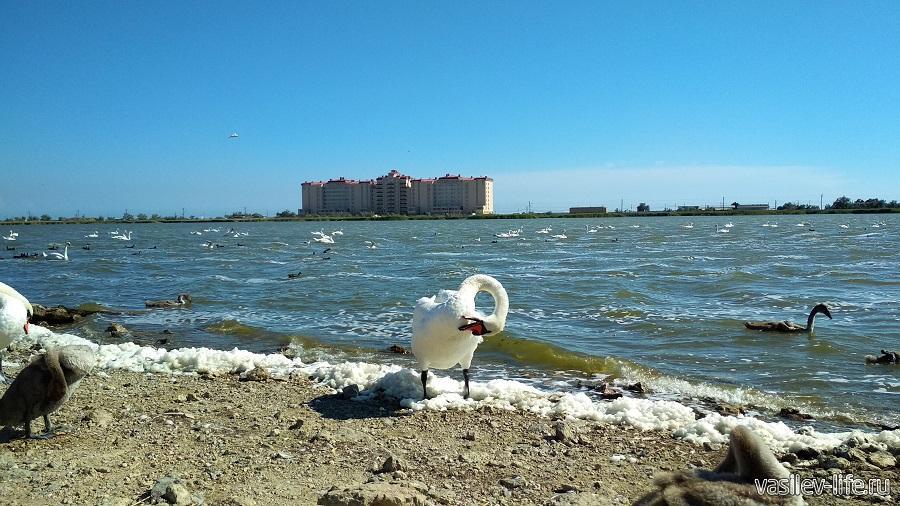 Озеро с лебедями в Евпатории