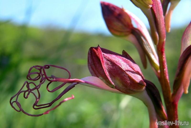 Орхидея Комперия Компера