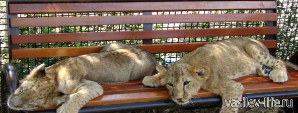 Парк львов «Тайган», Белогорск