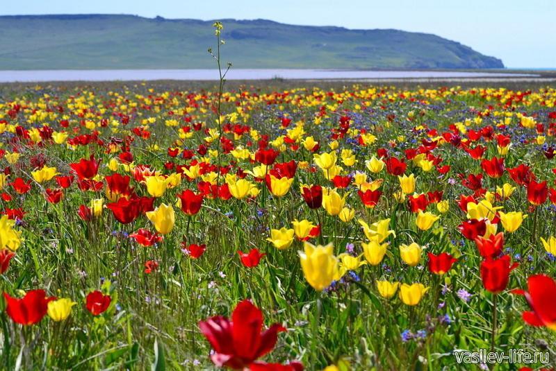 Сезон цветения тюльпанов