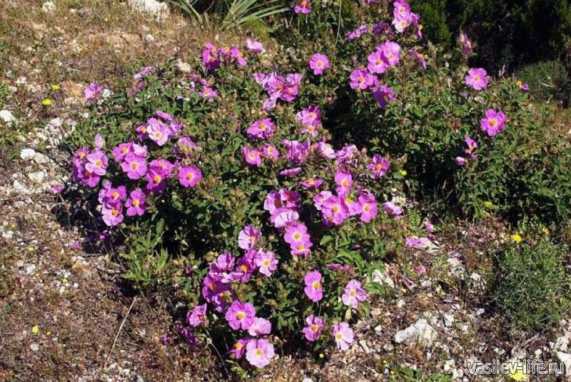 Скальная роза (ладанник)