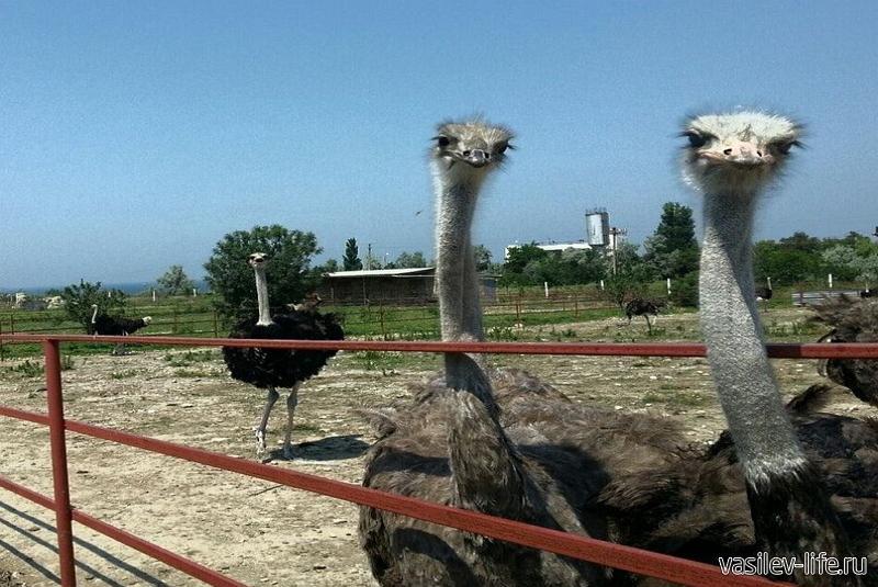 Страусиная ферма «Экзотик» в Керчи