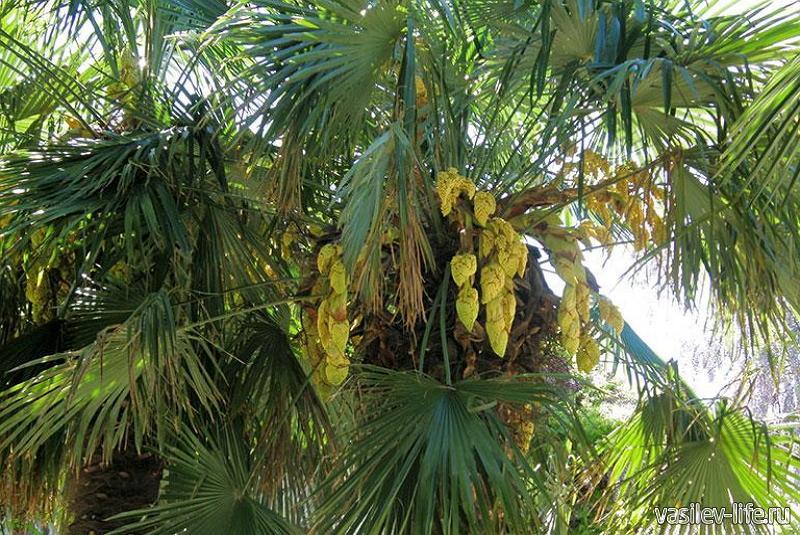 Пальма веерная китайская