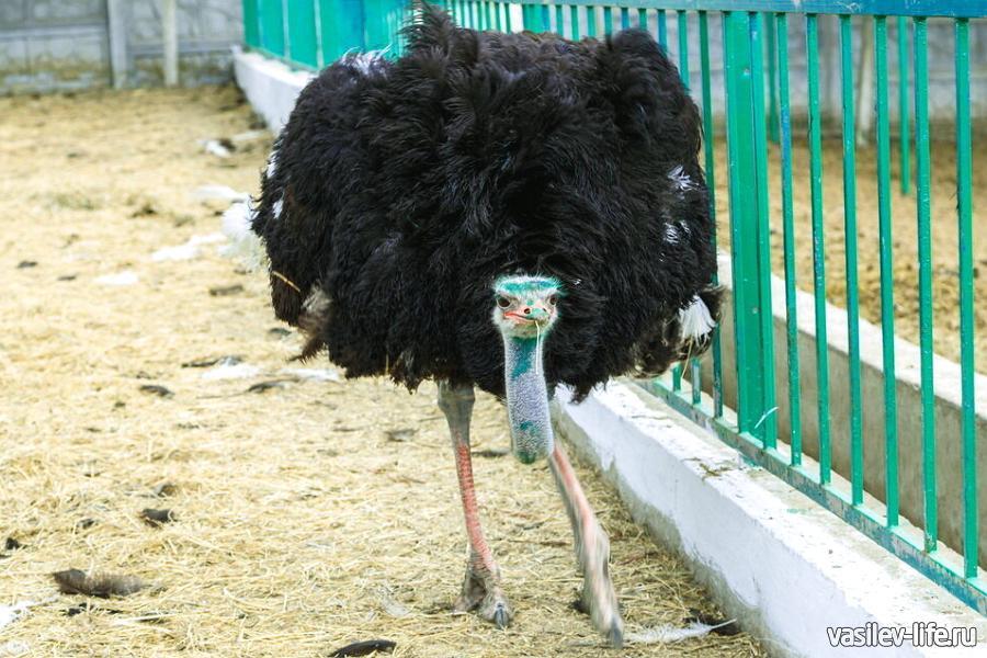 Ферма «Чудо ослик» в Залесном, страус