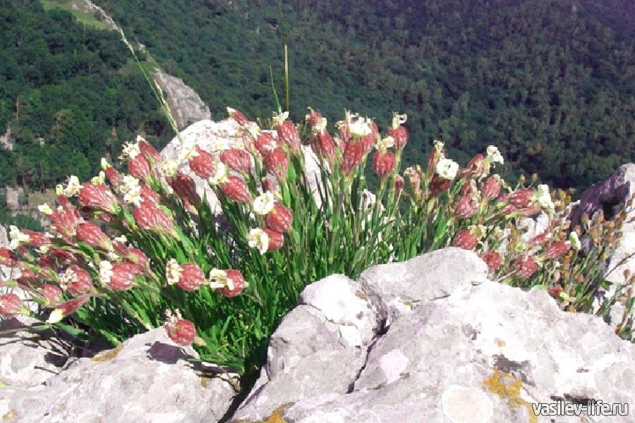 Крымские растения фото и названия, красных